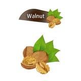 Orzecha włoskiego nasiono w nutshell z liśćmi ustawiającymi Zdjęcie Stock