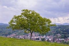Orzecha włoskiego drzewo Fotografia Royalty Free