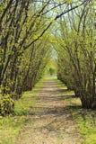 Orzechowego drzewa aleja w wczesnej wiośnie zdjęcia stock