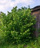Orzechowy drzewo Obrazy Royalty Free