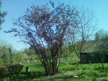 Orzechowy drzewo Obraz Royalty Free