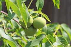 Orzechy włoscy dojrzewa na drzewie wśród ulistnienia, ale wciąż zielenieją Źródło jarzynowa proteina i zdrowi sadło Funda dla dzi fotografia royalty free