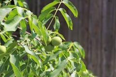 Orzechy włoscy dojrzewa na drzewie wśród ulistnienia, ale wciąż zielenieją Źródło jarzynowa proteina i zdrowi sadło Funda dla dzi zdjęcia royalty free