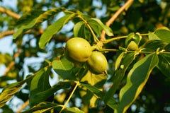 Orzechy włoscy na drzewie przy zmierzchem Zdjęcie Stock