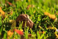 Orzechy włoscy zbierają na trawie Zdjęcie Royalty Free
