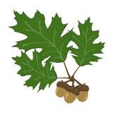 orzeszek ilustracji liści, Zdjęcie Royalty Free