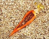 Orzo asciutto, prodotto naturale utile, idea delle carote Immagine Stock