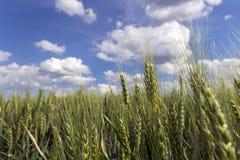 Orzo che cresce nel campo contro il cielo blu con le nuvole Immagini Stock Libere da Diritti