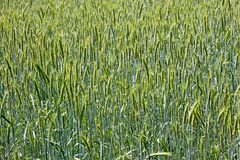 Orzo cultivation macro background best quality. Prints royalty free stock images
