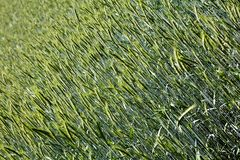 Orzo cultivation macro background best quality. Prints stock images