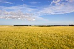 Orzo dei wolds di Yorkshire con il cielo di estate Fotografia Stock Libera da Diritti