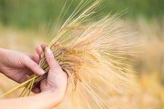 Orzo delle orecchie del grano nella mano Immagini Stock Libere da Diritti
