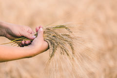 Orzo delle orecchie del grano nella mano Fotografia Stock