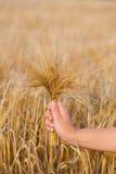 Orzo delle orecchie del grano nella mano Immagine Stock Libera da Diritti