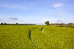 Orzo di Yorkshire Fotografia Stock Libera da Diritti