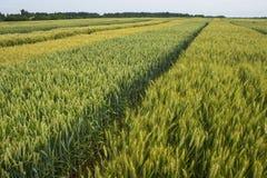 Orzo e grano   campo Fotografie Stock