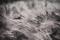 Orzo - estratto in bianco e nero Fotografia Stock Libera da Diritti