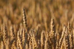 Orzo maturo che aspetta il raccolto nell'ambito della luce solare Fotografie Stock Libere da Diritti