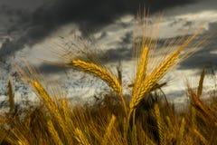 Orzo nel campo, campo del raccolto Fotografia Stock Libera da Diritti