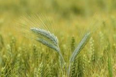 Orzo nel campo, campo del raccolto Immagini Stock Libere da Diritti