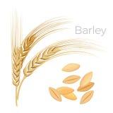 Orzo, orecchie di grano Cereali con i grani isolati su bianco illustrazione vettoriale