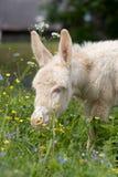 osła źrebięcia biel Fotografia Stock