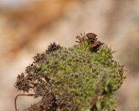 Osłony pluskwa, Graphosoma Lineatum zdjęcie royalty free