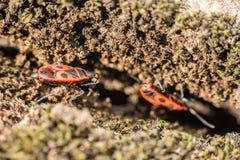 Osłony pluskwa (Graphosoma Lineatum) obraz stock