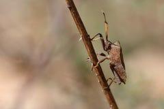 Osłony pluskwa na suchej trawie Zdjęcia Stock