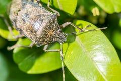 Osłony pluskwy insekt Makro- zdjęcie royalty free