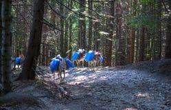 Osły które niosą korespondencję w górach fotografia royalty free