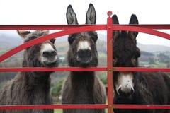Osły przy bramą w Irlandia Obrazy Royalty Free