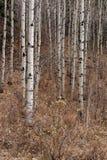 Os álamos tremedores estão em linha reta na floresta da queda Fotografia de Stock