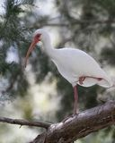 Os íbis brancos empoleiraram-se em uma árvore - Homosassa, Florida imagem de stock royalty free