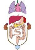 Os órgãos internos do corpo humano Imagens de Stock