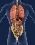 Os órgãos internos suportam a vista ilustração stock
