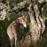 Osłów stojaki pod starym drzewem oliwnym i spojrzeniami z powrotem Fotografia Royalty Free