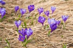 Os açafrões alpinos florescem nas montanhas dos Carpathians sobre a montanha Imagens de Stock Royalty Free