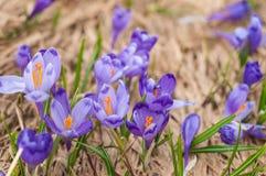 Os açafrões alpinos florescem nas montanhas dos Carpathians sobre a montanha Imagens de Stock