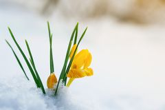 Os açafrões amarelos brilhantes das flores do snowdrop fazem sua maneira em um Sunn Foto de Stock