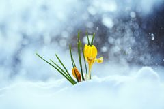 Os açafrões amarelos brilhantes festivos das flores do snowdrop crescem no sp adiantado Imagens de Stock