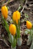 Os açafrões amarelos estão crescendo em um prado da mola Beleza na natureza Imagem de Stock Royalty Free