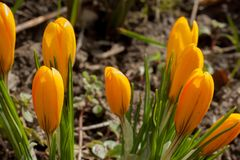 Os açafrões amarelos estão crescendo em um prado da mola Beleza na natureza Fotografia de Stock Royalty Free
