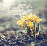 Os açafrões amarelos florescem no jardim ou no parque com bokeh, natureza exterior da mola Fotos de Stock