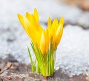 Os açafrões amarelos floresceram Foto de Stock