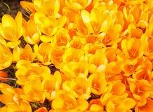 Os açafrões amarelos germinam na primavera no jardim Símbolo o Fotos de Stock