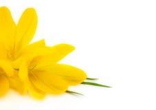 Flores amarelas do açafrão/mola   Fotografia de Stock Royalty Free