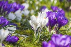Os açafrões bonitos da cor que florescem na mola estacionam em Szczecin Fotografia de Stock