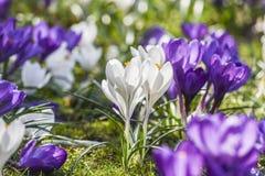 Os açafrões bonitos da cor que florescem na mola estacionam em Szczecin Fotografia de Stock Royalty Free