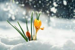 Os açafrões brilhantes festivos dos snowdrops das flores do amarelo fazem sua maneira Fotos de Stock